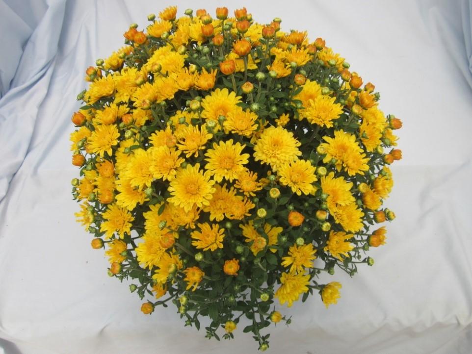 Fall flower sale now thru september 2 green park lutheran school yellow mums mightylinksfo